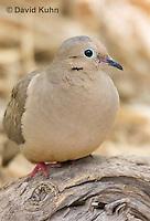 0611-1106  Mourning Dove in Arizona Desert (Sonoran Desert), Zenaida macroura  © David Kuhn/Dwight Kuhn Photography