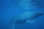 Baleine a bosse (Megaptera)  dans le lagon de Mayotte. Admirer une baleine sous l eau est un spectacle inoubliable. Depuis la surface, on ne voit que la tete couverte de tubercules, l aileron dorsal ou la grande nageoire caudale... Mais il faut s immerger pour distinguer la baleine dans son integralite et se rendre compte de la taille gigantesque de l animal - entre 12 et 16 metres de long - soit la taille dun gros bus!