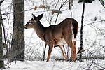Whitetail Deer Doe in snow near tree