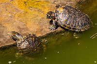 Two turtles, red-eared sliders, making their way onto a rock along the shore of a Japanese garden koi pond.
