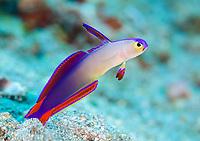 elegant firefish or purple firefish, Nemateleotris decora, Tulamben, Bali, Indonesia, Indo-Pacific Ocean