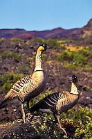 Male and female native Nene geese standing tall on Haleakala, Maui