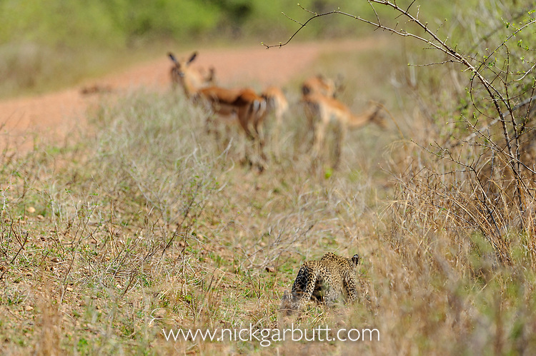 Young leopard (Panthera pardus) stalking / trying to hunt impala (Aepyceros melampus). South Luangwa National Park, Zambia.