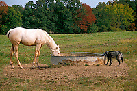 White horse and black dog share a drink from a field tank