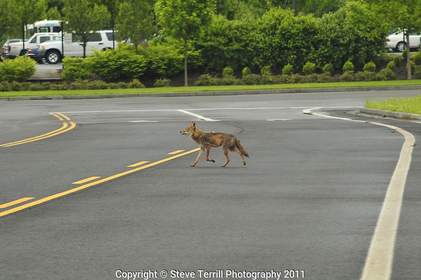 Wild coyote crossing road through industrial park in NE Portland, Oregon