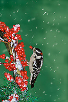 Downy Woodpecker grasps on to holly berries in snow and ice eating one to its liking