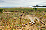 Eastern Grey Kangaroo (Macropus giganteus) resting on beach, Pebbly Beach, Murramarang National Park, New South Wales, Australia