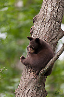 Black Bear cub in his safe place, Orr, Minnesota