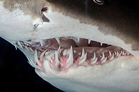 Sand Tiger Shark ( Carcharias taurus ) (c). Close up image of head and formidable teeth