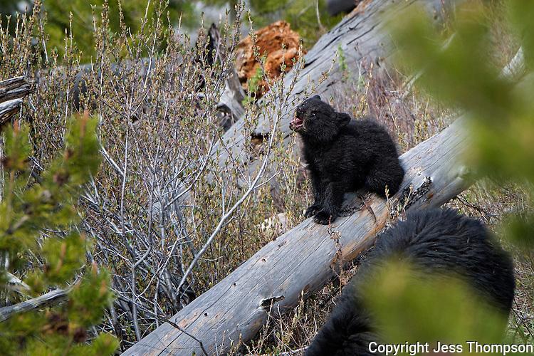 Black Bear Cub, Petrified Tree area of Yellowstone National Park