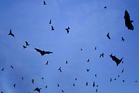 Fruit bats leave their roosts at dusk. The flying mammals are believed to be carriers of the ebola virus and the current outbreak has been linked to fruit bats in Guinea.