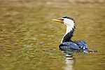 Little Pied Cormorant (Phalacrocorax melanoleucos) on water, Royal Botanic Gardens, Sydney, New South Wales, Australia
