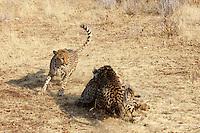 Cheetahs at Otjitotongwe, Namibia