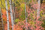 Brilliant fall color of a maple and aspen forest in Wasatch-Cache National Forest, Utah.