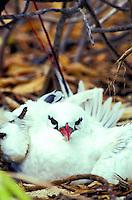 The Red-Tailed Tropic bird or (phaethon rubracauda rothschild) found on the Kure Atoll
