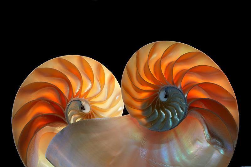 Nautilus sea shell.