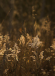 Dried goldenrod
