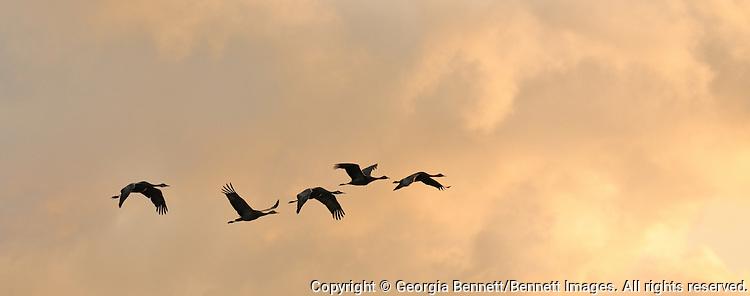 A group of sandhill cranes flies over Creamer's Field in Fairbanks, Alaska on a late summer evening.