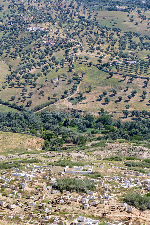 Fes, Morocco.  Cemetery and Olive Trees below the Merenid Tombs.