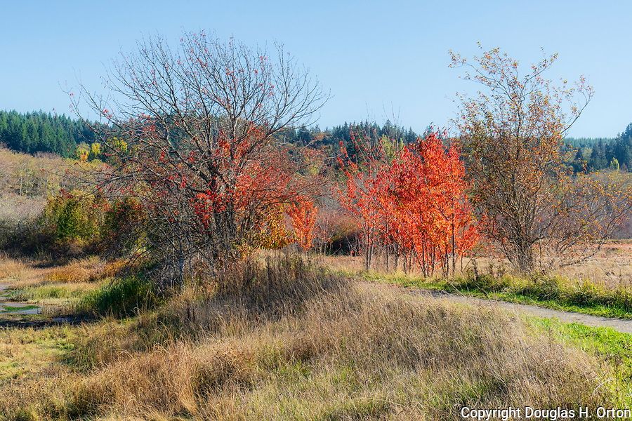 Fall color along a trail in Theler Wetlands Natural Area near Belfair, WA along Hood Canal.