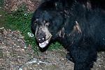 American black bear walking left looking at camera, medium shot.