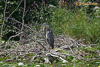 0807-06xx  Great Blue Heron - Ardea herodias © David Kuhn/Dwight Kuhn Photography.