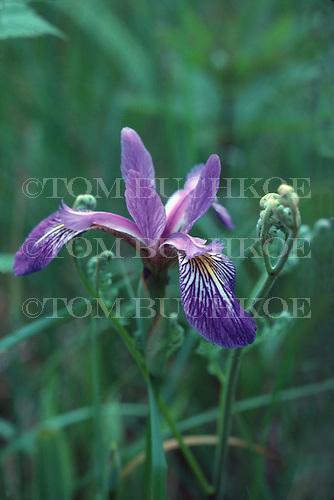 Larger Blue Flag Iris, (Iris versicolor) in Michigan's Upper Peninsula.