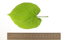 Silber-Linde, Silberlinde, Linde, Tilia tomentosa, Tilia argentea, silver linden, silver lime, Le tilleul argenté, Tilleul de Hongrie. Blatt, Blätter, leaf, leaves