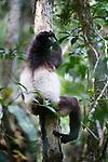 Adult male Milne-Edward's Sifaka (Propithecus edwardsi) resting in the canopy. Mid-altitude montane rainforest, Ranomafana National Park, south east Madagascar.