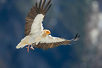 Egyptian Vulture (Neophron percnopterus) approaching to land, Pyrenees, Aragon, Spain, Europe