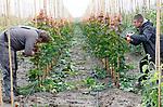 Foto: VidiPhoto<br /> <br /> RANDWIJK – Met enkele vakantiewerkers is de jonge boomkweker Roy Wennekes (r) van RW Green uit Heteren donderdag aan het 'tangen' op zijn perceel in Randwijk (Betuwe). Met een speedotang wordt het jonge boompje met elastiek vastgemaakt aan een bamboestok om de groei te begeleiden. Boomkwekers moeten nu flink aanpoten om de enorme groei van de bomen bij te houden. Dankzij de overvloedige regenval groeien bomen, maar ook het onkruid, als kool. Vorig jaar rond deze tijd was het kurkdroog en moesten boomkwekers hun gewassen beregenen om te voorkomen dat alles dood ging. RW Green bestaat pas drie jaar en verzorgt de opkweek van 50 soorten bomen voor de grotere kwekers in de regio.