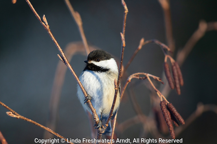 Black-capped chickadee perched in a speckled alder.