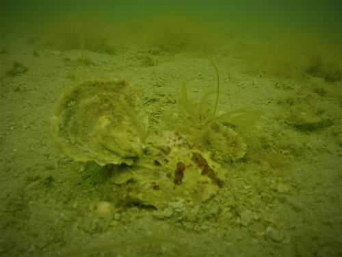 Native oyster on the sea bed in south Galway Photo: Cuan Beo project
