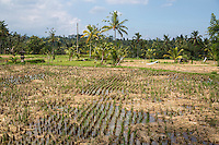 Bali, Indonesia.  Young Rice Plants in Field.  Shrine to the Rice Goddess Sri on far left.