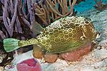 Acanthostracion polygonius, Honeycomb cowfish, Cozumel, Mexico
