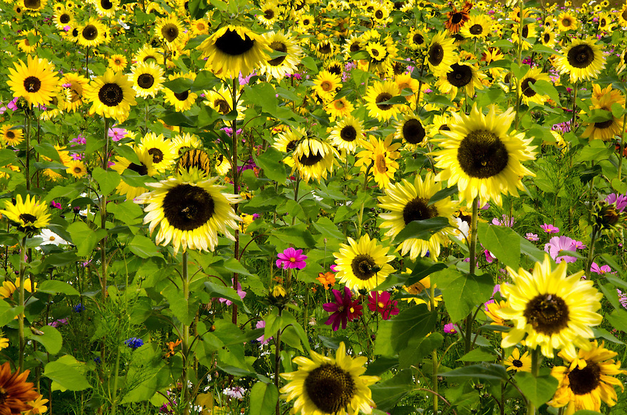 What a patch of sunflowers ! This might be my personal favorite of this year, hope you enjoy !