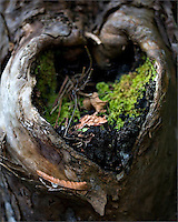 Heart-shaped knot of a tree with nest materials