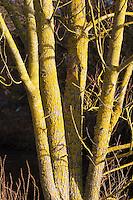 Gewöhnliche Gelbflechte, Gelbe Wandflechte, Goldgelbe Wandflechte, Gelbe Wandschüsselflechte, Flechte auf der Rinde, Borke eines Baumes, Xanthoria parietina, Parmelia parietina, common orange lichen, yellow scale, maritime sunburst lichen, shore lichen, golden shield lichen