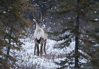 A Caribou near Glennallen, Alaska. Photo by James R. Evans