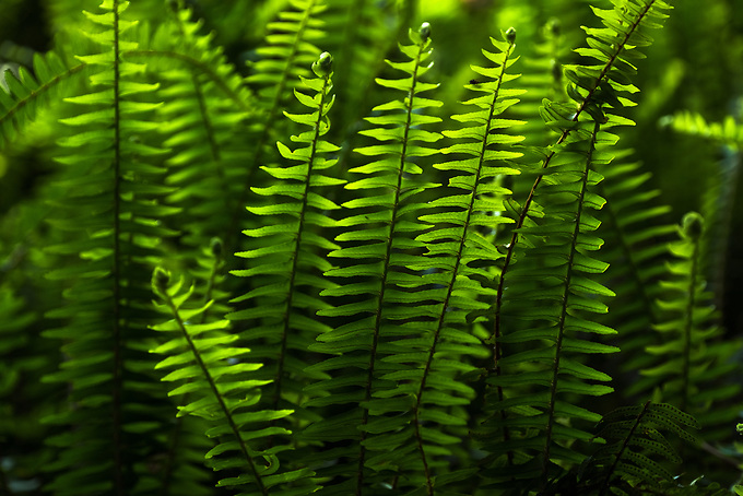 Late afternoon backlighting on a group of ferms brings out an array of deep green hues.