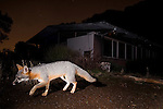 Gray Fox (Urocyon cinereoargenteus) walking in backyard at night, Los Altos, Bay Area, California