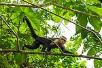 White-headed Capuchin (Cebus capucinus) male in tree, Pipeline Road, Gamboa, Panama