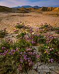 Notch Leaf Phacelia, Anza-Borrego Desert State Park, San Diego County, California