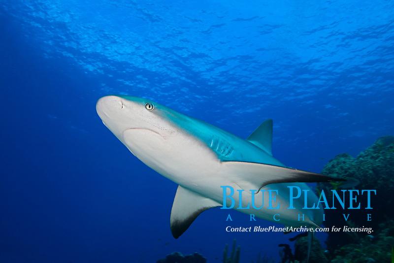Caribbean reef shark, Carcharhinus perezii, West End, Grand Bahamas, Atlantic Ocean