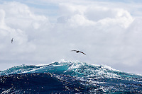 A White-chinned Petrel battles the Southern Ocean Swell