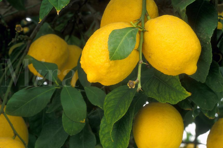 lemons, citrus, lemon tree, close-up, Phoenix, AZ, Arizona, Yellow lemons hanging onto a lemon tree in Phoenix.