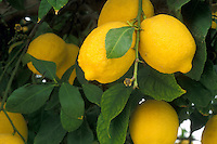 lemons, citrus, lemon tree, close-up, Phoenix, AZ, Arizona, Yellow lemons hanging onto a lemon tree in Phoenix.