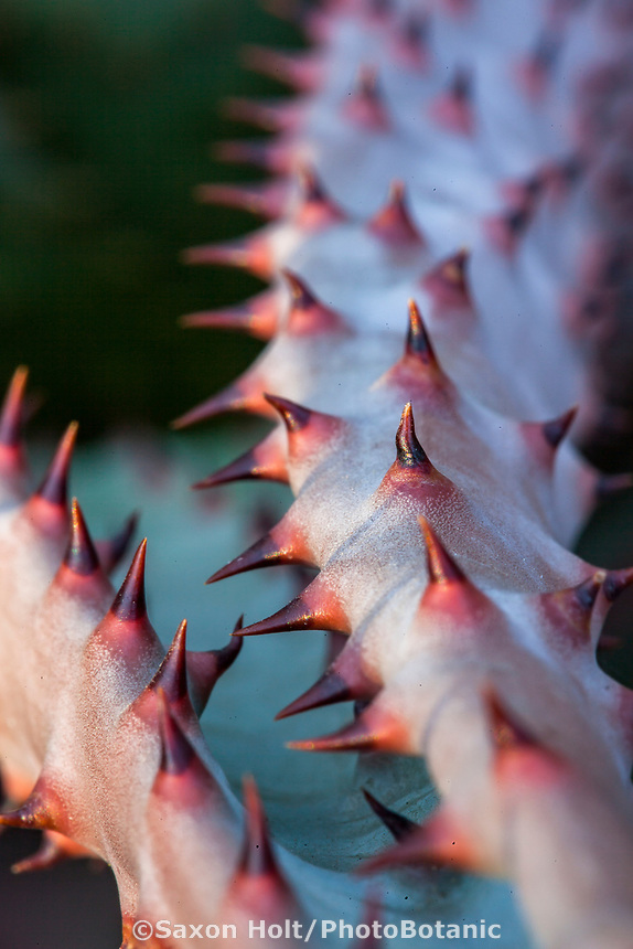 Aloe marlothii (Mountain Aloe) succulent with knobby thorns or spines. Gerhard Bock garden