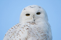 Immature male Snowy Owl (Bubo scandiacus). Ontario, Canada. January.