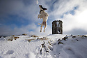 21/02/15  <br /> <br /> After heavy snow showers across the Derbyshire Peak District, four month old springer spaniel, Chester, catches a snowball in front of Solomon's Temple, also known as Grinlow Tower, near Buxton.<br /> All Rights Reserved - F Stop Press.  www.fstoppress.com. Tel: +44 (0)1335 418629 +44(0)7765 242650